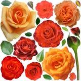 Grande raccolta delle rose arancio e delle foglie isolate Immagine Stock