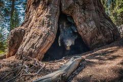 Grande racine de séquoia Images stock