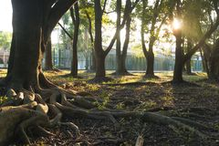 Grande radice dell'albero Fotografia Stock Libera da Diritti