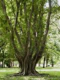 Grande radice dell'albero al parco 2 Fotografie Stock Libere da Diritti