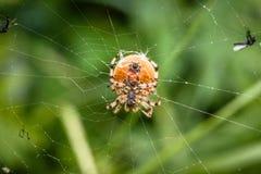 Grande ragno Fotografia Stock Libera da Diritti