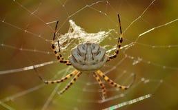 Grande ragno, lobata del Argiope fotografia stock
