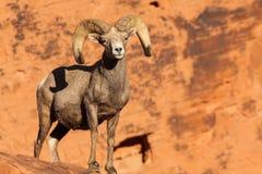 Grande Ram delle pecore Bighorn del deserto Fotografia Stock