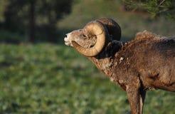 Grande ram delle pecore di Bighorn in foresta Fotografie Stock