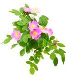 Ramo della rosa canina con i fiori Fotografia Stock