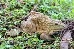 Grande rana che si siede sull'erba, rana commestibile Fotografia Stock Libera da Diritti