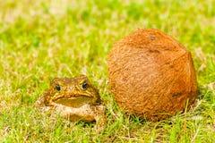 Grande rana marrone Fotografia Stock