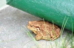 Grande rana marrone del rospo nel giardino Fotografia Stock Libera da Diritti