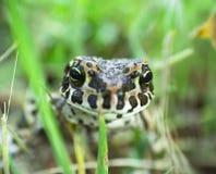 Grande rana su erba verde immagine stock