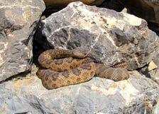 Grande Rattlesnake del bacino, lutosus di oreganus del Crotalus Immagini Stock Libere da Diritti