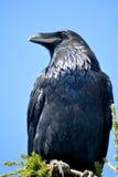 Grande Raven Immagini Stock