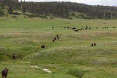 Grande rebanho do bisonte na pradaria foto de stock royalty free