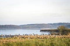 Grande rebanho dos gansos por um lago na manhã fotos de stock royalty free