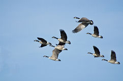 Grande rebanho dos gansos que tomam o vôo fotos de stock