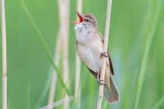 Grande Reed Warbler Imagem de Stock Royalty Free