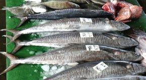 Grande rei Indo-pacífico Mackerels Imagem de Stock