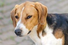 Grande retrato da cabeça de um cão da raça do cão do russo (cães do perfume) imagem de stock royalty free