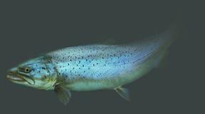 Grande retrato da pesca com mosca da truta de mar ilustração royalty free