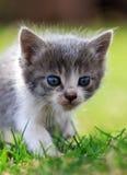 Grande retrato de um gatinho branco e cinzento na grama do fundo Imagem de Stock Royalty Free