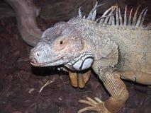 Grande rettile dell'iguana in un terarriume dello zoo fotografie stock libere da diritti