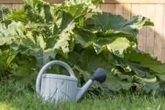 Grande rhubarbe s'élevant dans le potager et la boîte d'arrosage Image stock