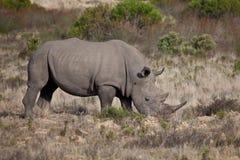 Grande rinoceronte Fotografia Stock Libera da Diritti