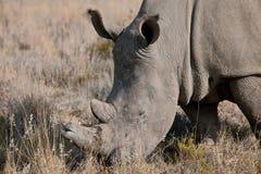 Grande rinoceronte Immagini Stock Libere da Diritti