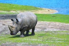 Grande rinoceronte Immagini Stock