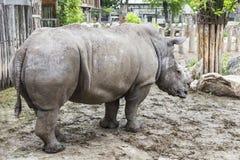 Grande rinoceronte Fotografie Stock Libere da Diritti