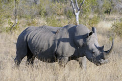 Grande rinoceronte bianco maschio Fotografia Stock