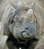 Grande rinoceronte indiano 11 Imagem de Stock