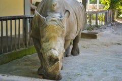Grande rinoceronte nello zoo di Kiev Immagine Stock Libera da Diritti