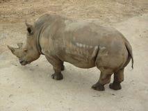 Grande rinoceronte timido immagine stock