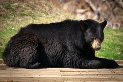 Grande riposarsi nordamericano dell'orso nero Immagine Stock Libera da Diritti