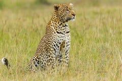 Grande ritratto del leopardo Fotografie Stock Libere da Diritti