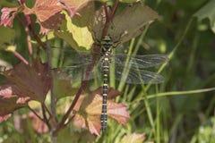 Grande ritratto della libellula Fotografie Stock