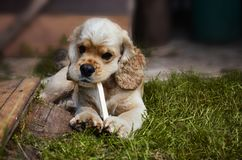 Grande ritratto di un cane che morde un bastone sull'erba verde, Cocker Spaniel fotografie stock libere da diritti