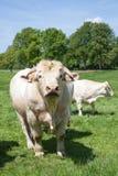 Grande rivestimento diritto bianco del toro da macello del charolais la macchina fotografica in a Fotografie Stock Libere da Diritti