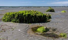 Grande roccia coperta in alga Immagini Stock