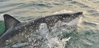 Grande rompimento do carcharias do Carcharodon do tubarão branco Imagem de Stock Royalty Free