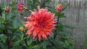 A grande rosa de Borgonha cresce no jardim video estoque