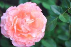 Grande rosa di rosa che cresce in un giardino sotto il sole, fotografia stock libera da diritti
