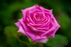 Grande rosa di porpora del fiore contro erba verde nel giardino Fotografia Stock