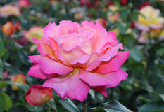 Grande rosa di rosa Macro Bokeh Sfondo naturale Immagine Stock Libera da Diritti