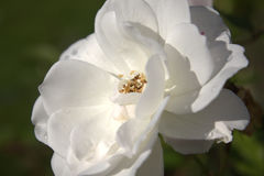 Grande rosa do branco Fotografia de Stock Royalty Free