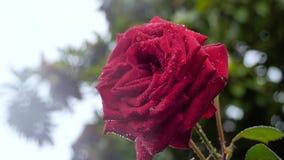 Grande rosa rossa su cui la pioggia gocciola Primo piano stock footage