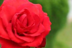 grande rosa rossa in un giardino, simbolo di amore, romance, ammirazione e celebrazione Fotografia Stock