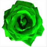 Grande Rosa verde intenso con fondo bianco fotografia stock