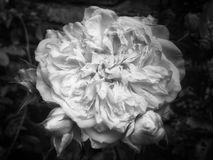 Grande rose de blanc d'effacement Photos libres de droits