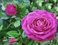 grande rose de rose, le 8 mars, jour du ` s de mère, carte postale, ressort Image libre de droits